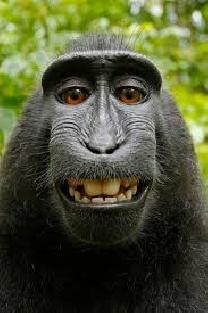Selfie de macaco não pertence a fotógrafo