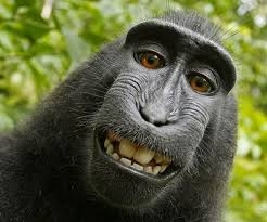 Selfie do macaco é de todos, segundo orgão